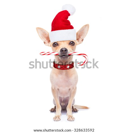 chihuahua santa claus dog with sugar candy cane in mouth, for christmas , isolated on white background #328633592
