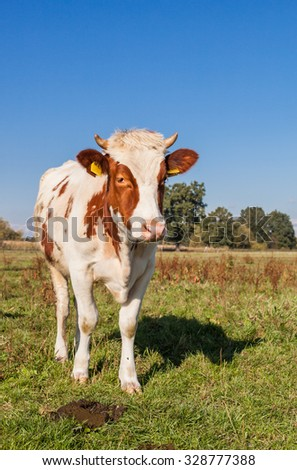 Herd of cows at summer green field  and blue sky in Poland #328777388