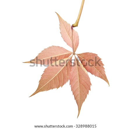 autumn leaves of vine on a white background #328988015