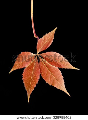 autumn leaves of vine on a black background #328988402