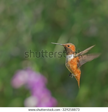 Allen's hummingbird hovering. Photo taken in Southern California.