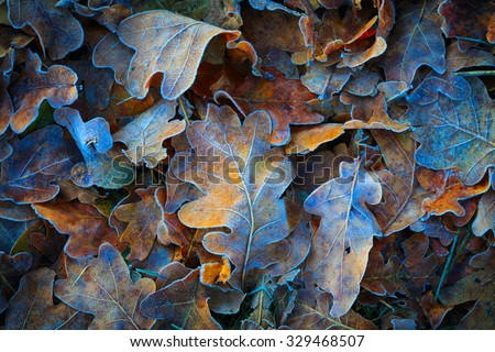 Frozen oak leafs - abstract natural background #329468507