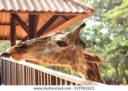 Giraffe head on field close up #329982623