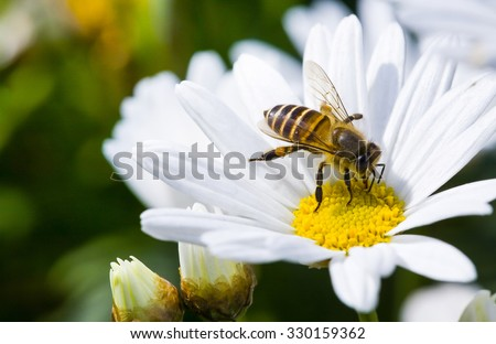 Spring single daisy flower and bee Royalty-Free Stock Photo #330159362