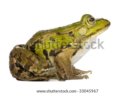 Edible Frog - Rana esculenta in front of a white background #33045967