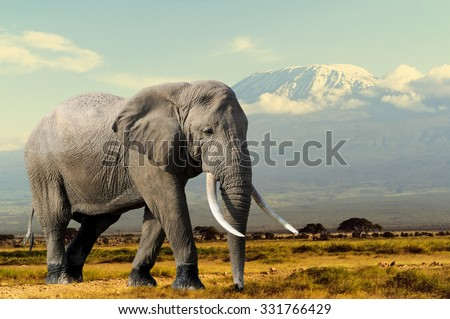 Elephant on Kilimajaro mount background in National park of Kenya, Africa