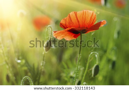 Red poppy in a green grass field with sunlight, natural floral vintage background #332118143