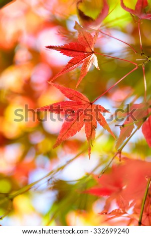 Japanese maple leaf  #332699240