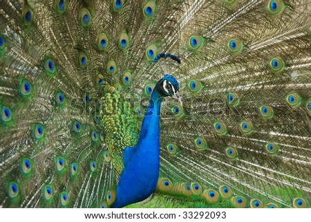 beautiful male peacock with its colorful tail feathers spread #33292093