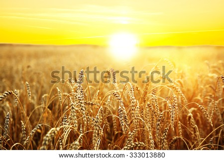 backdrop of ripening ears of yellow wheat field on the sunset cloudy orange sky background Copy space of the setting sun rays on horizon in rural meadow Close up nature photo Idea of a rich harvest #333013880