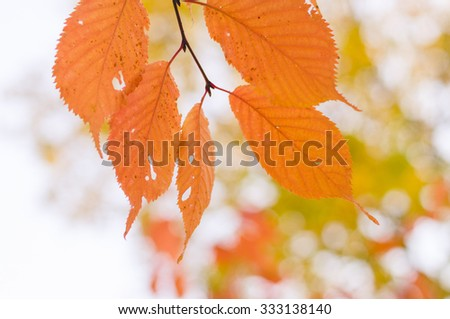 Tree branch with orange autumn leaves background, shallow depth #333138140