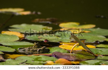 Pond with lillies flowers and frogs in the autumnal park #333391088