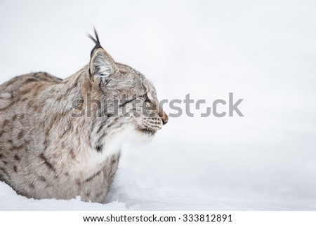 A side view profile of a Lynx wildcat lying in deep snow during a Norwegian winter. #333812891