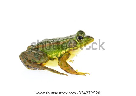Frog isolated on a white background  #334279520