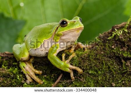 European green tree frog (Hyla arborea formerly Rana arborea) lurking for prey in natural environment #334400048