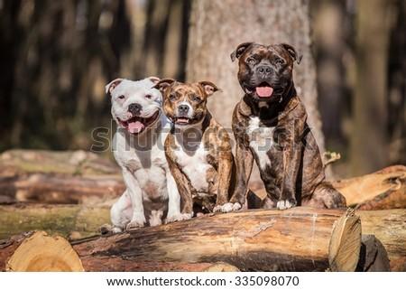 photo of three beautiful stafford bull terrier posing outside #335098070