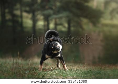 Dog breed black Japanese Shiba walking in autumn park #335451380