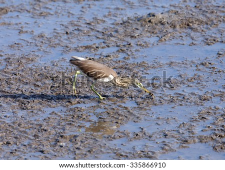 chinese pond heron hunting #335866910