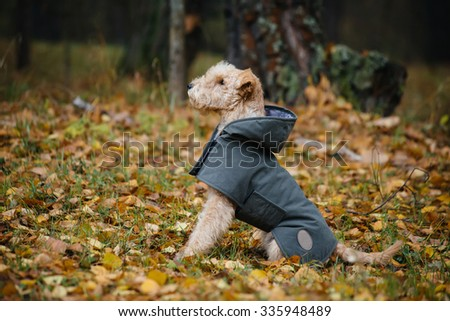 Terrier dog in a raincoat in autumn forest #335948489