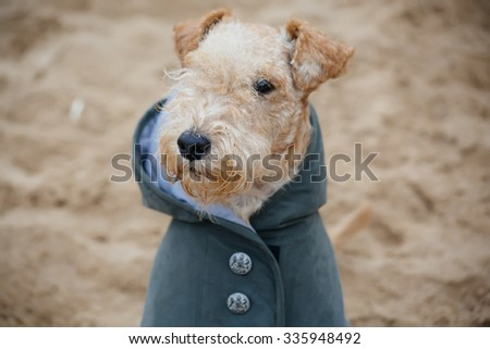 Terrier dog in a raincoat on the beach on a cloudy cold day #335948492