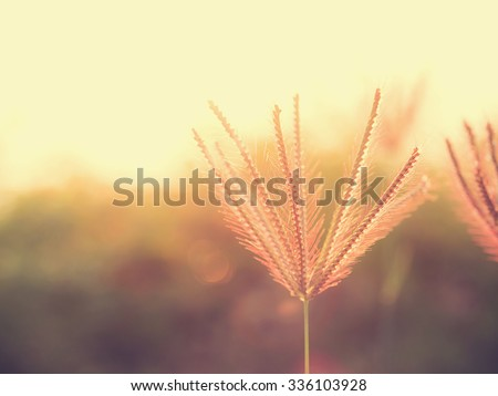 Vintage and soft focus style of beautiful  poaceae grass flower and nature background with sun light. Image with copy space for adding text or quote.