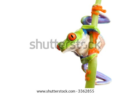 frog climbing on bamboo, closeup of red-eyed tree frog (Agalychnis callidryas) isolated on white #3362855