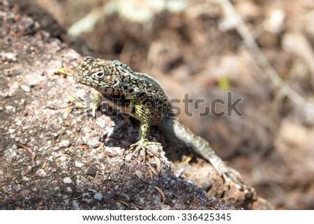 Galapagos Lizard #336425345