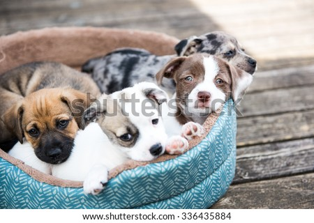 Litter of Terrier Mix Puppies Playing in Dog Bed Outside on Wooden Deck #336435884
