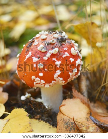 Fly agaric mushrooms in forest #336497342