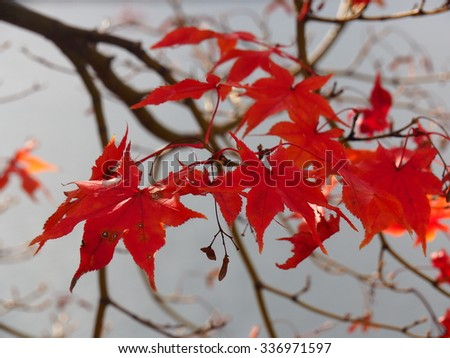 Autumn Red Leaves  #336971597