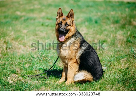 Beautiful Young Brown German Shepherd Dog Sitting In Green Grass in Park #338020748