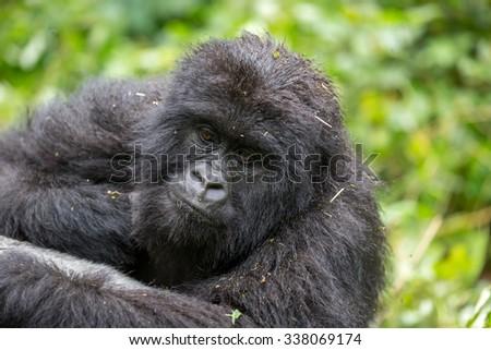 A gorila inside the Virunga National Park, the oldest national park in Africa. DRC, Central Africa. #338069174