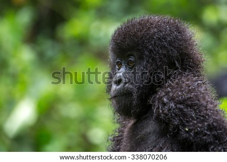 A baby gorila inside the Virunga National Park, the oldest national park in Africa. DRC, Central Africa. #338070206