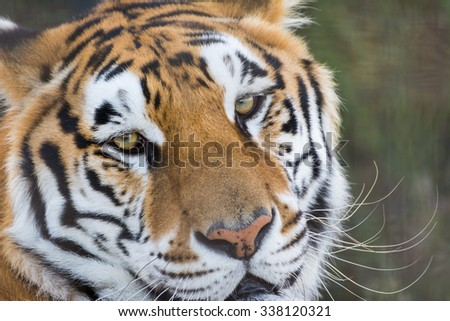 Close up portrait of a tiger #338120321