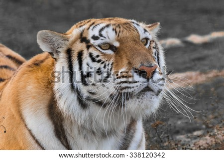 Close up portrait of a tiger #338120342