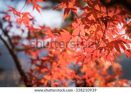 autumnal background, slightly defocused red maple leaves #338210939