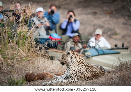 A horizontal, colour photograph of an in-focus leopard resting on a rise in the foreground with a safari vehicle filled with tourists looking on in the background, at Elephant Plains, South Africa. Royalty-Free Stock Photo #338259110