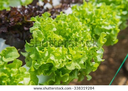 Vegetable salad green oak planted hydropronick tastes delicious.  #338319284