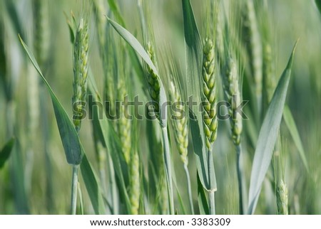 Closeup of fresh green wheat plants on a field #3383309