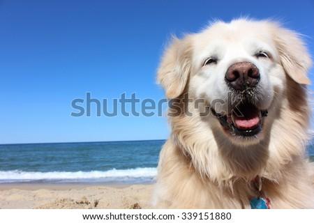 Golden Retriever Smile Royalty-Free Stock Photo #339151880
