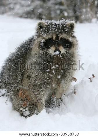 Young Raccoon in Winter #33958759