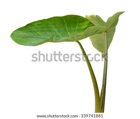 Elephant Ears Taro (colocasia esculenta) leaves isolated on white background #339741881