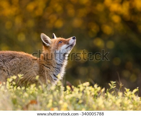 Fox (Vulpes vulpes) hunting in europe forest #340005788