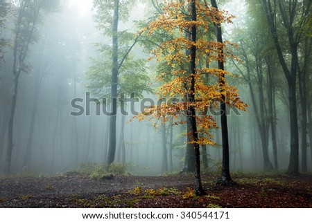 Orange tree in foggy forest #340544171