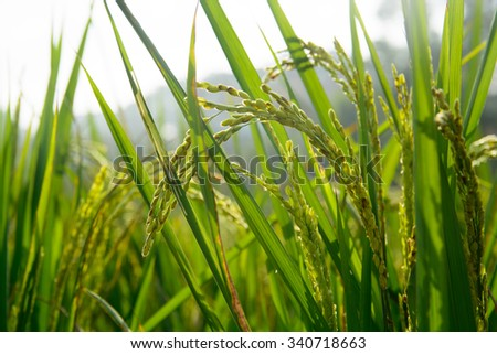 Close up of golden rice paddy in rice field  #340718663