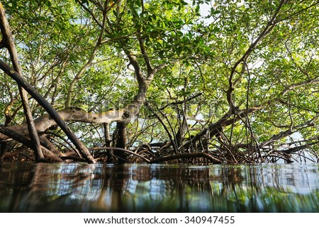 Red mangrove trees in the water viewed from the sea surface, Panama, Central America