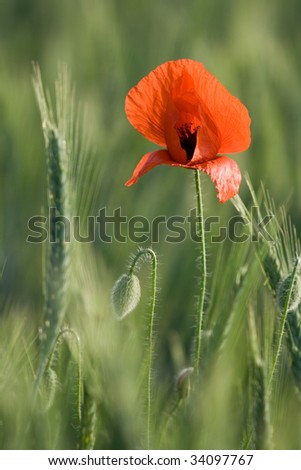 Ear of cereals, poppyheads and one red poppy close-up on the cereal field background #34097767