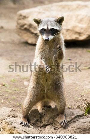 Raccoon sitting and staring intently #340983821