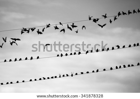 A flock of birds takes off from the wires. Black and white photography.