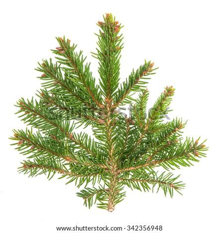 Spruce sprig isolated on white background. Evergreen tree #342356948
